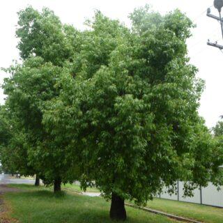 Brachychiton populneus2
