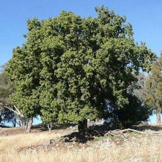 Brachychiton_populneus_tree