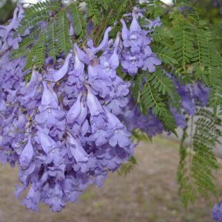 Jacaranda_mimosifolia_flowers_and_leaves