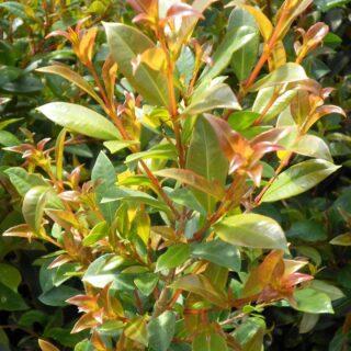 eugenia-myrtifolia-syzgium