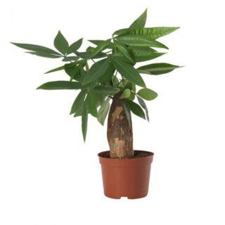 money_tree_plastic_pot