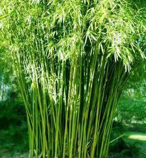 graceful-bamboo2