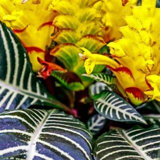 zebra-plant-aphelandra-squarrosa-is-a-great-ornamental-houseplant1